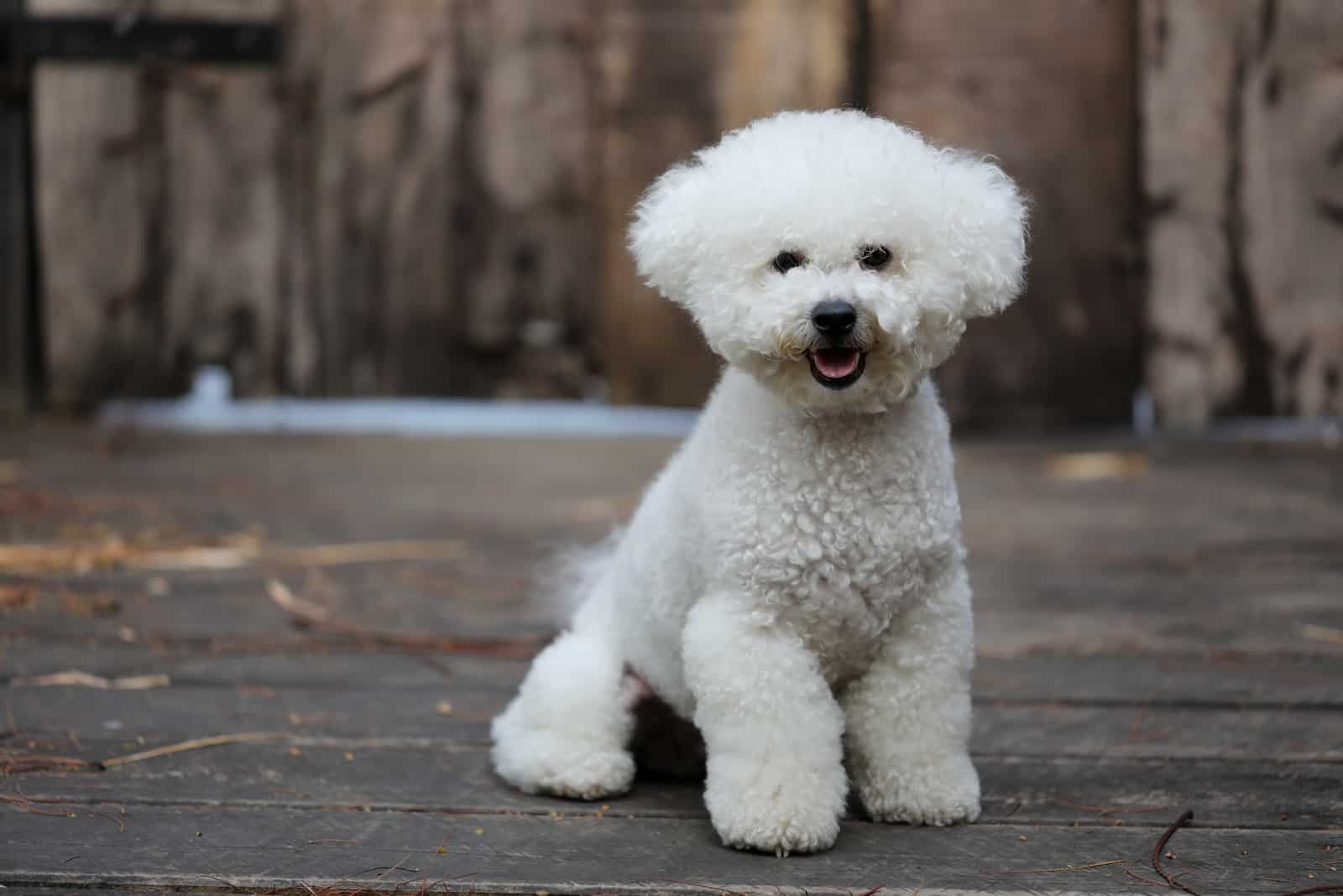 Bichon Frise dog with a white fluffy coat