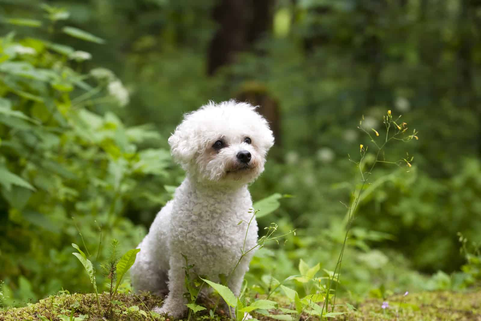 Bichon Frise female with beautiful expression
