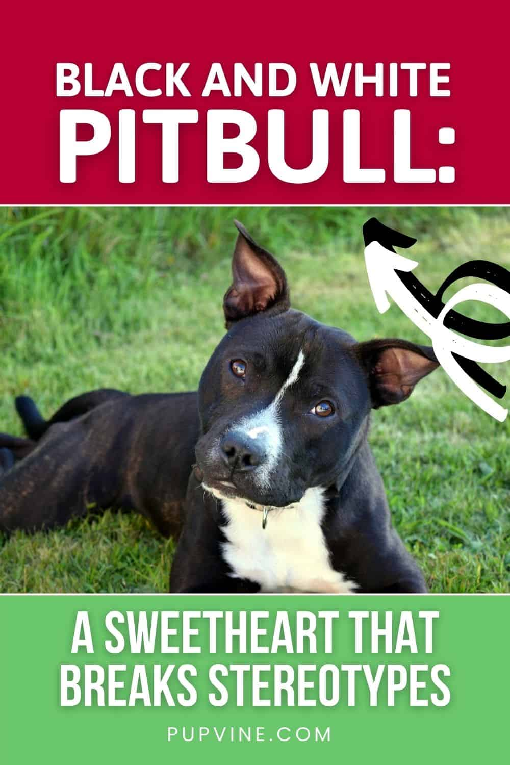 Black And White Pitbull A Sweetheart That Breaks Stereotypes