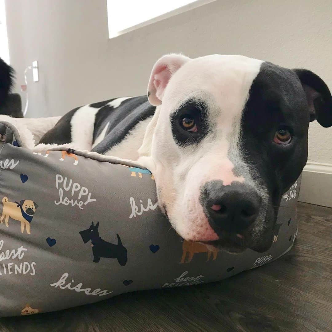 Black And White Pitbull lying in his bed
