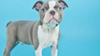 blue boston terrier standing