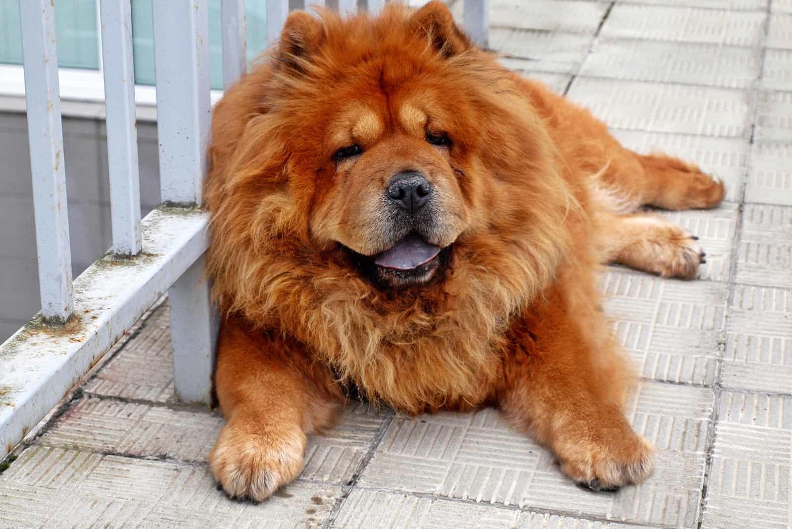 beautiful Brown chow chow dog