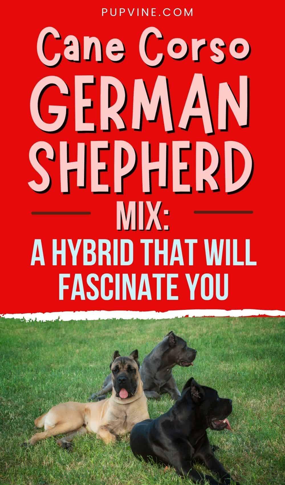 Cane Corso German Shepherd Mix A Hybrid That Will Fascinate You