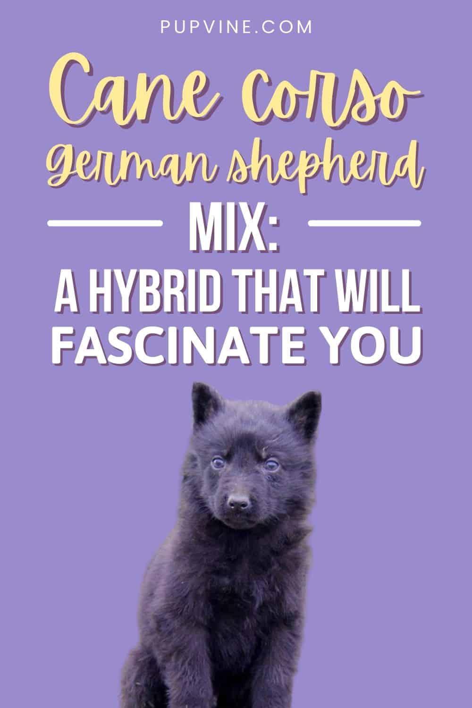 Cane Corso German Shepherd Mix: A Hybrid That Will Fascinate You