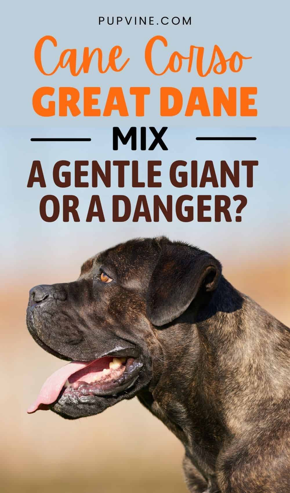 Cane Corso Great Dane Mix – A Gentle Giant Or A Danger