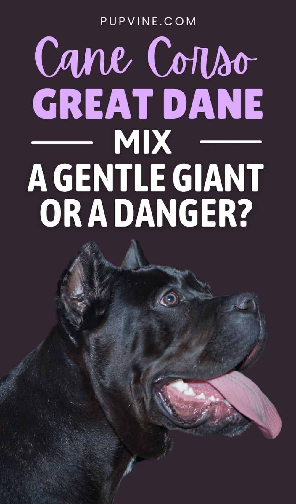 Cane Corso Great Dane Mix – A Gentle Giant Or A Danger?