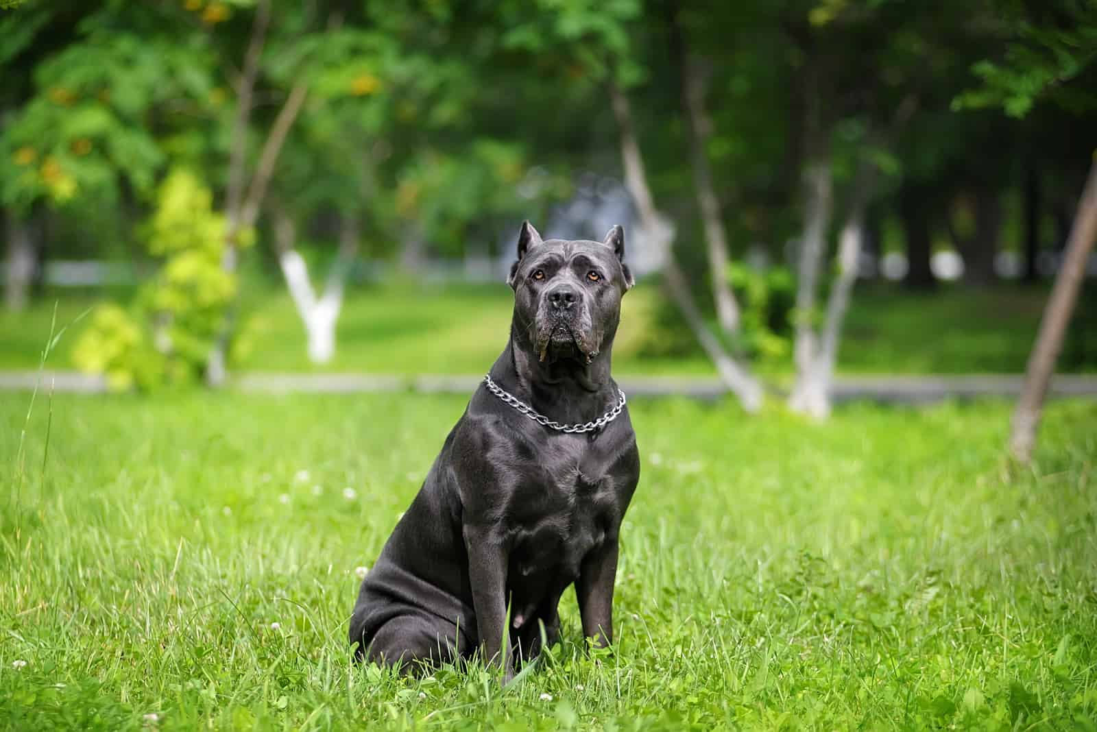 Cane Corso dog sitting on green grass alone