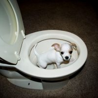 a chihuahua inside a new white toilet bowl