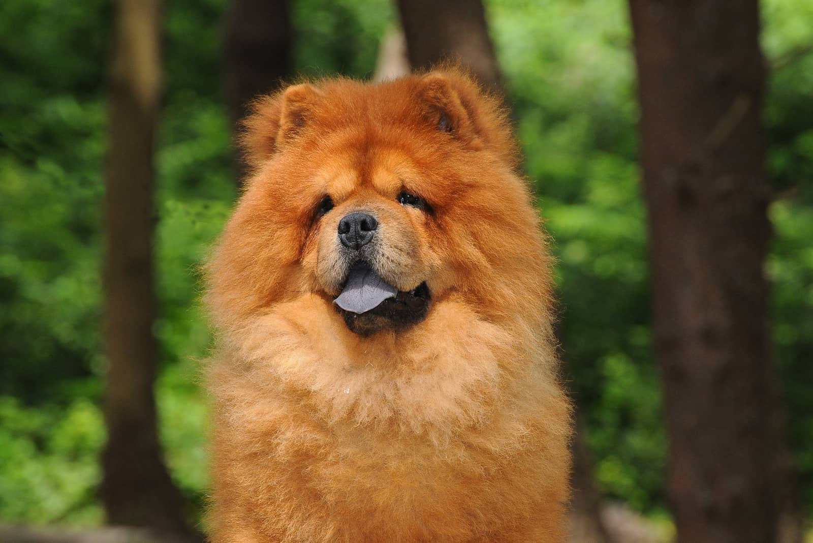 Chow Chow dog in forest