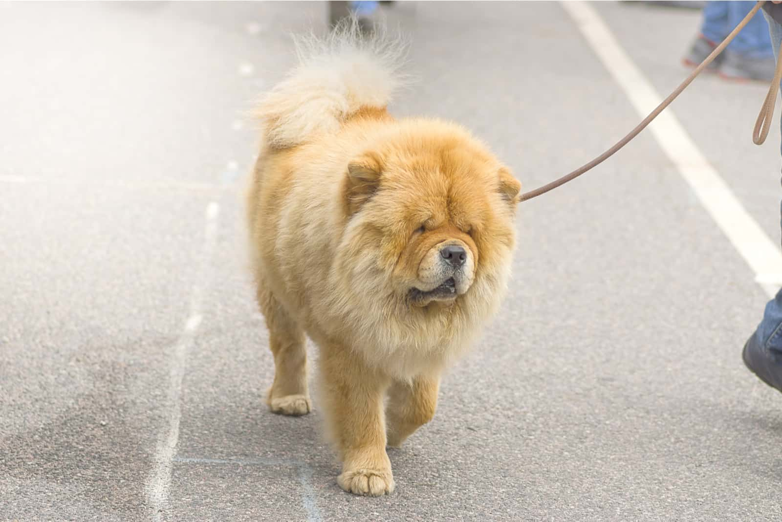 Chow Chow dog walking on the street