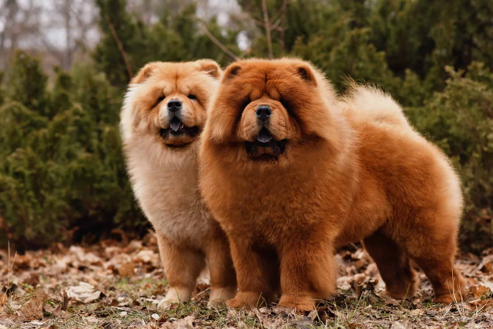 two beautiful Chow Chow dogs outdoors