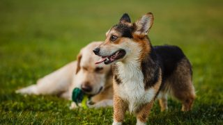 Corgi and the Labrador are playing on the lawn