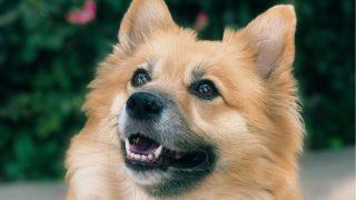 cute corgi pomeranian mix dog in close up photography outdoors
