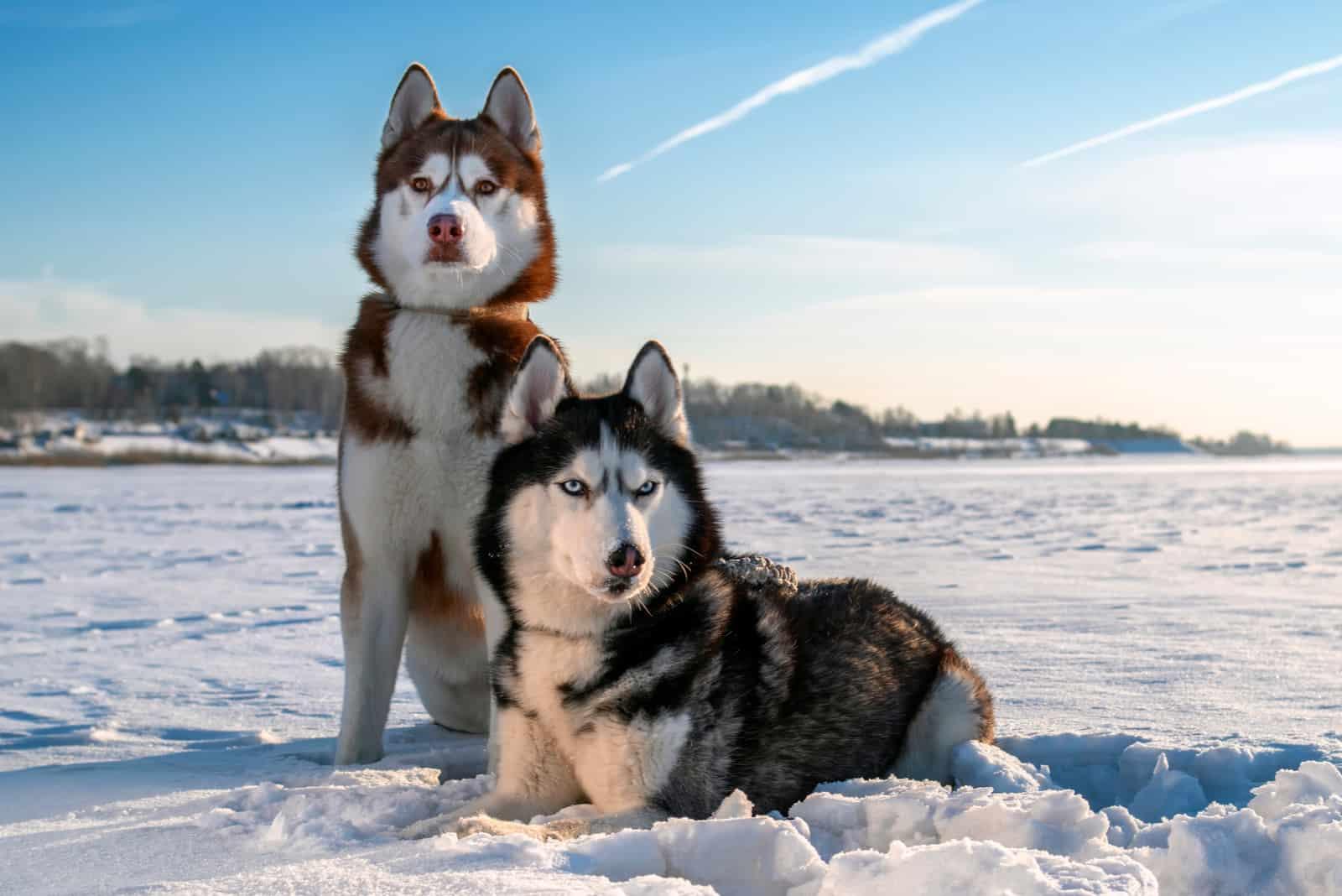 Couple Siberian Husky dogs on sunny winter background