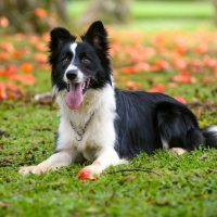 Attentive border collie dog lying down on the grass on a sunny day