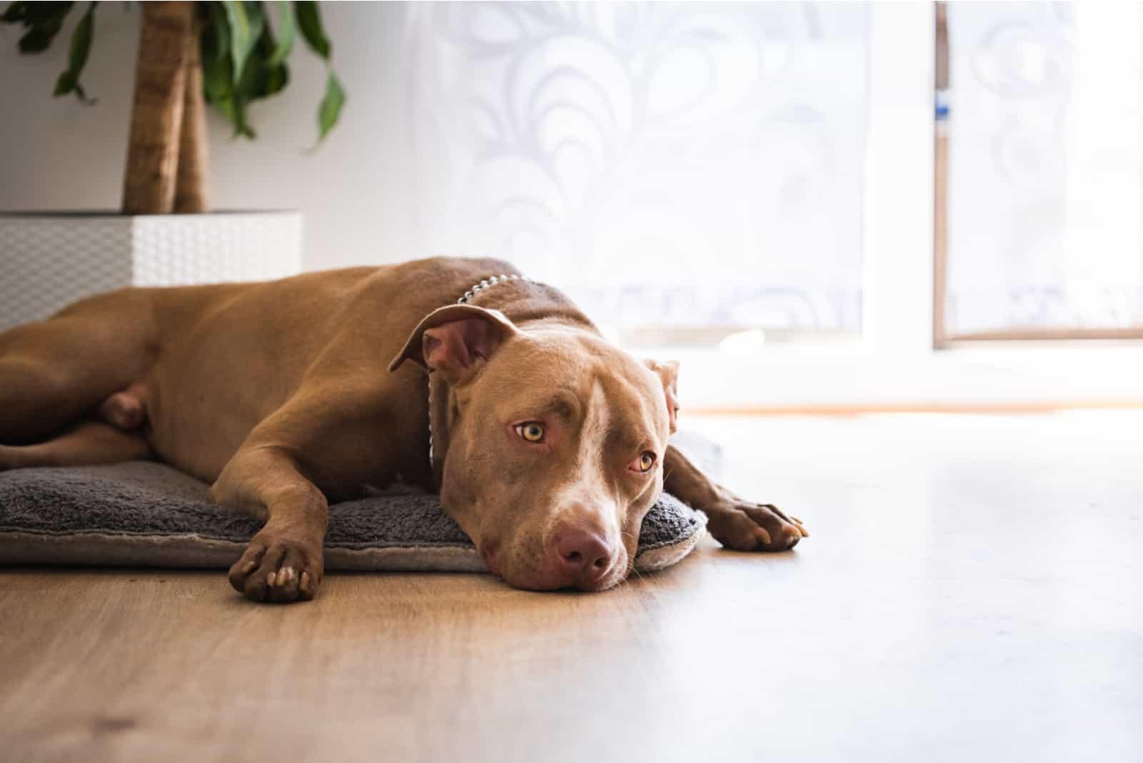 Dog lying on wooden floor indoors
