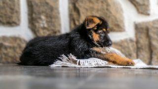 german shepherd puppy biting on the cloth on the floor