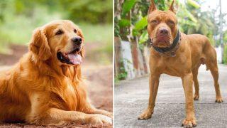 golden retriever and pitbull