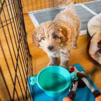miniature goldendoodle puppy inside a potty train