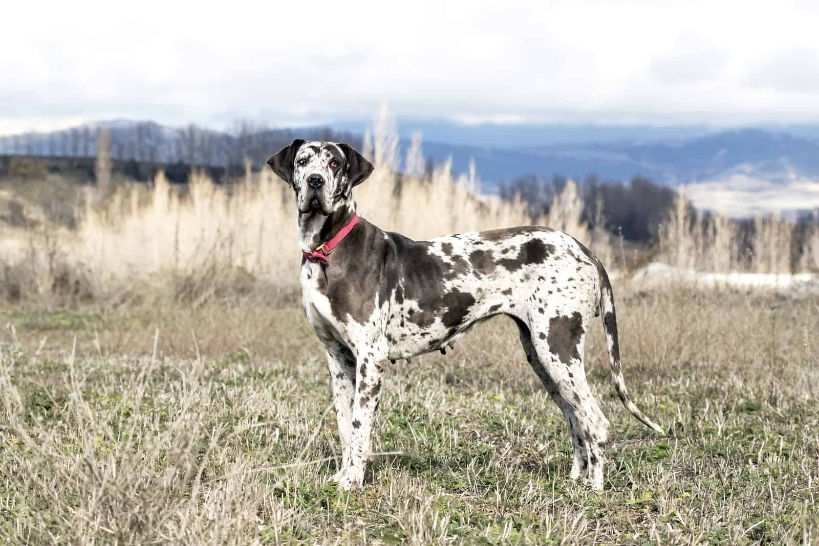 Great Dane dog standing outdoors