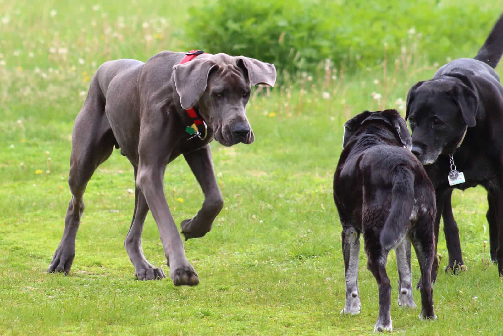 Great Dane meeting other dogs