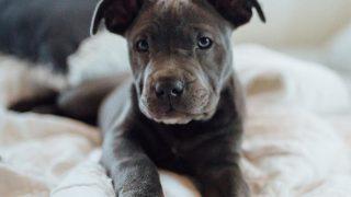 cute grey pitbull puppy