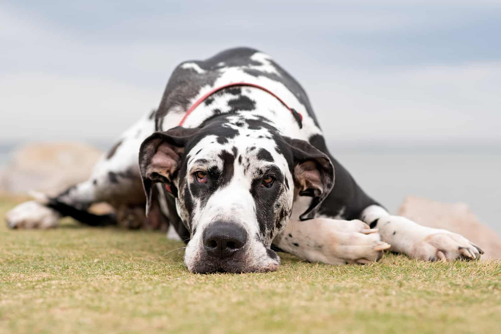 Harlequin Great Dane laying on ground