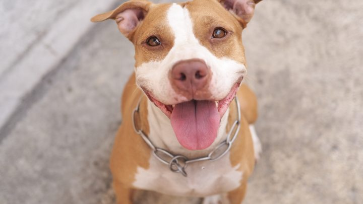 How Long Do Pitbulls Live? Is There A Way To Extend Their Lifespan?