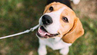 beautiful beagle sitting on grass