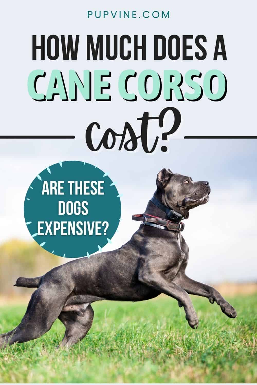 How Much Does A Cane Corso Cost? Are These Dogs Expensive?