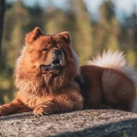 A chow chow lying on a stone in the woods