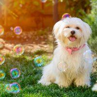 Lovely maltese puppy in the Garden