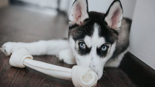 siberian husky puppy lying down in front of his toy inside home
