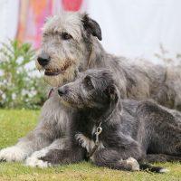 Puppy and big gray dog of breed Irish Wolfhound outdoors