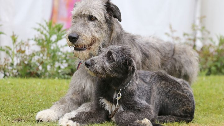 Irish Wolfhound Cost: Puppy Price And Additional Expenses