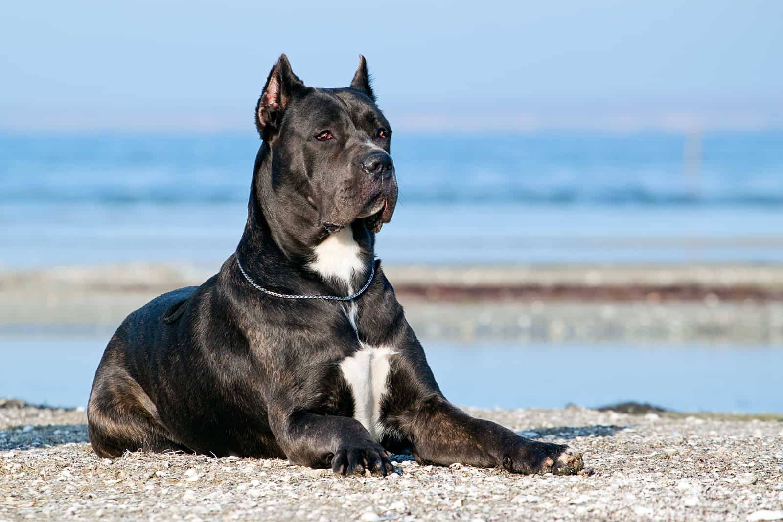 Italian Cane-Corso dog lying outdoors