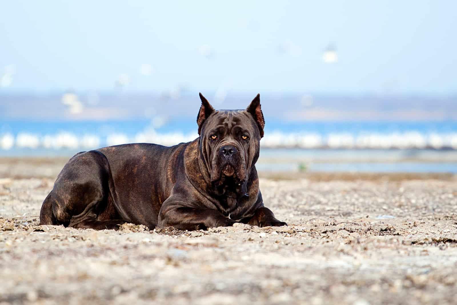 Italian Cane-Corso dog lying outdorors