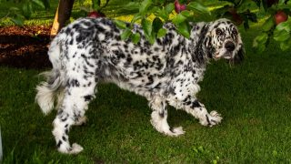 long haired dalmatian hiding underneath the tree