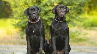 two Cane Corso puppies outdoor