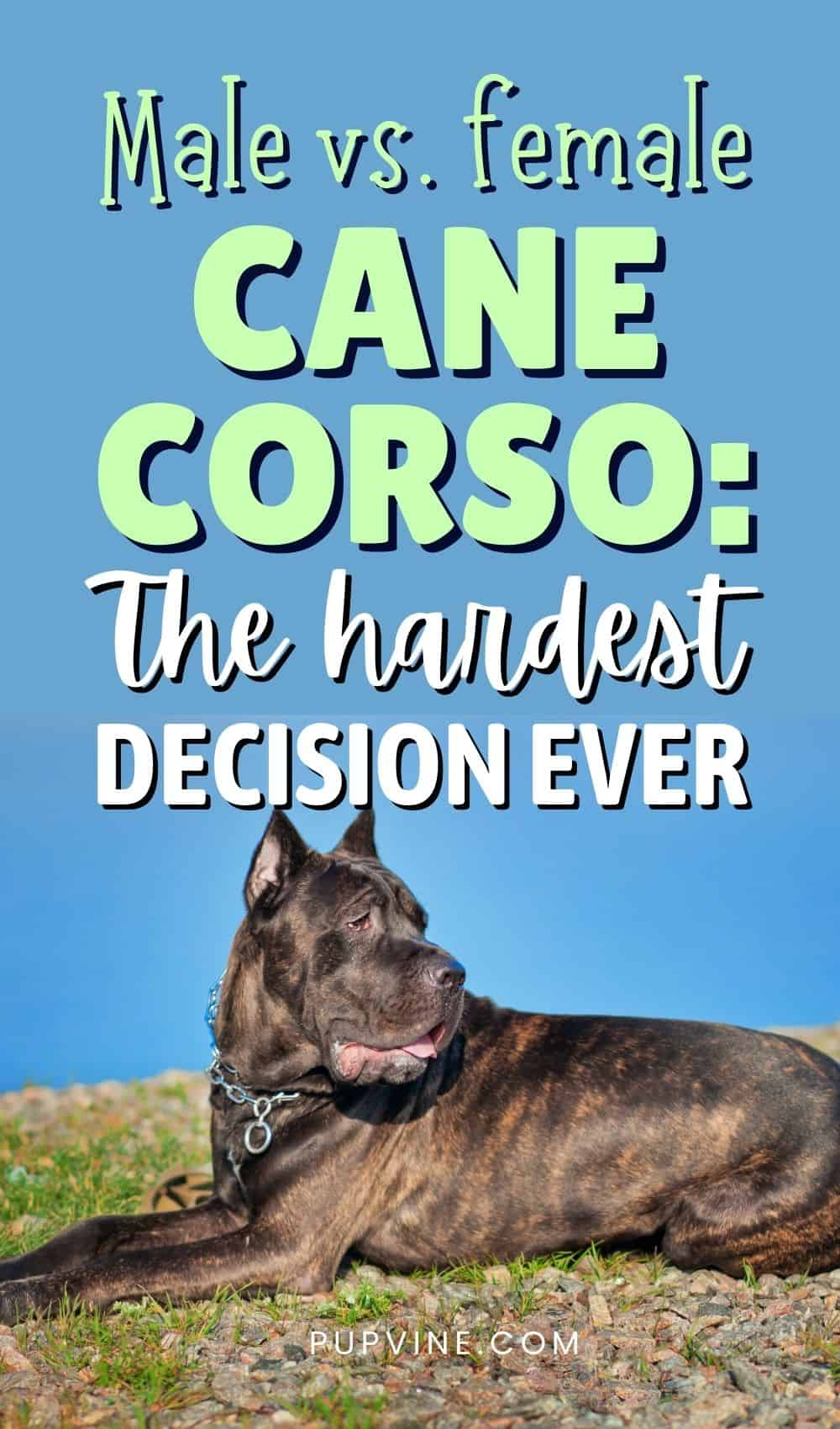 Male Vs. Female Cane Corso The Hardest Decision Ever
