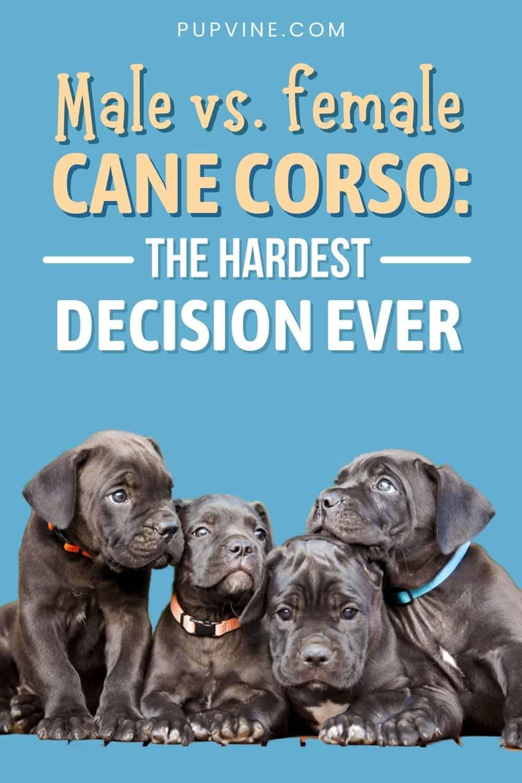 Male Vs. Female Cane Corso: The Hardest Decision Ever