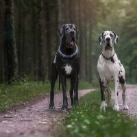 two Great dane dogs in beautiful landscapes