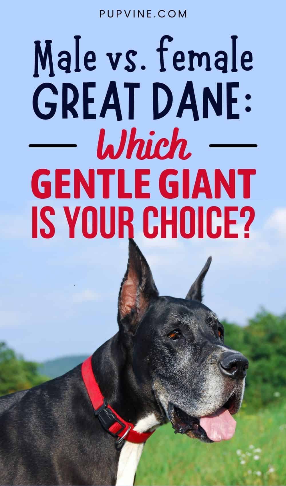 Male Vs. Female Great Dane Which Gentle Giant Is Your Choice
