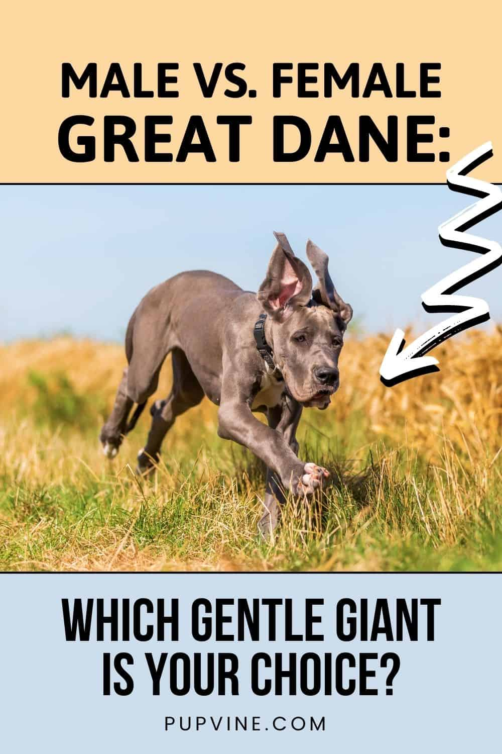 Male Vs. Female Great Dane: Which Gentle Giant Is Your Choice?