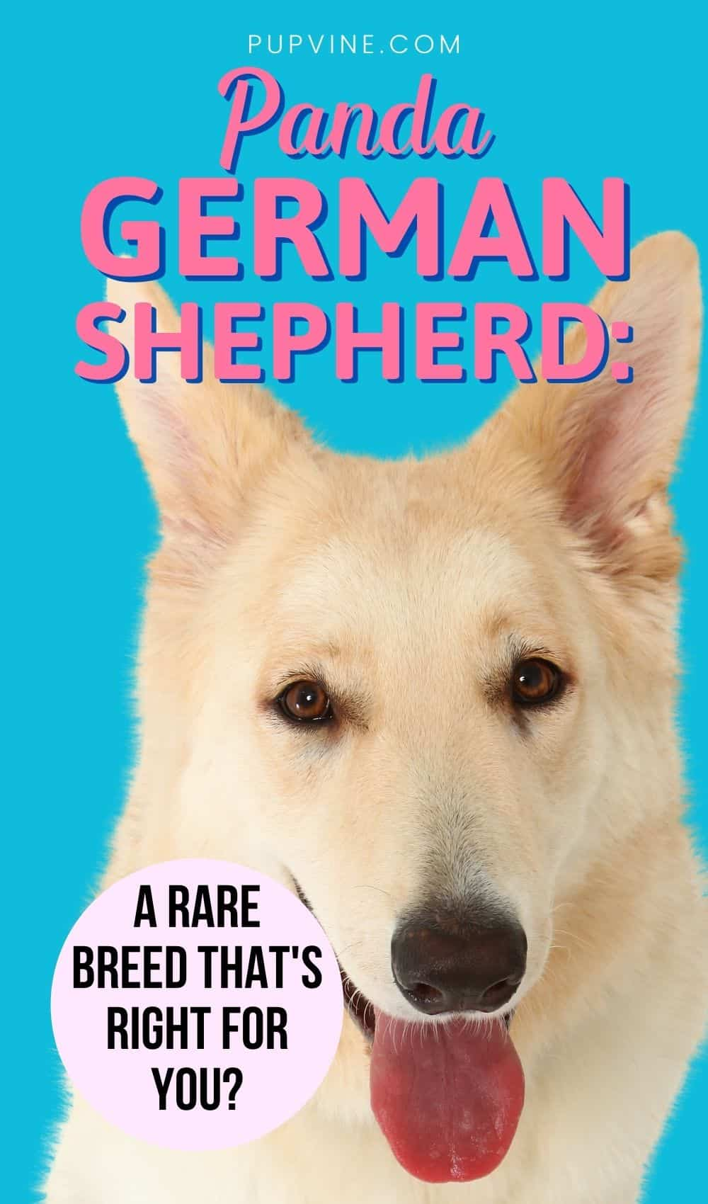 Panda German Shepherd: A Rare Breed That's Right For You?