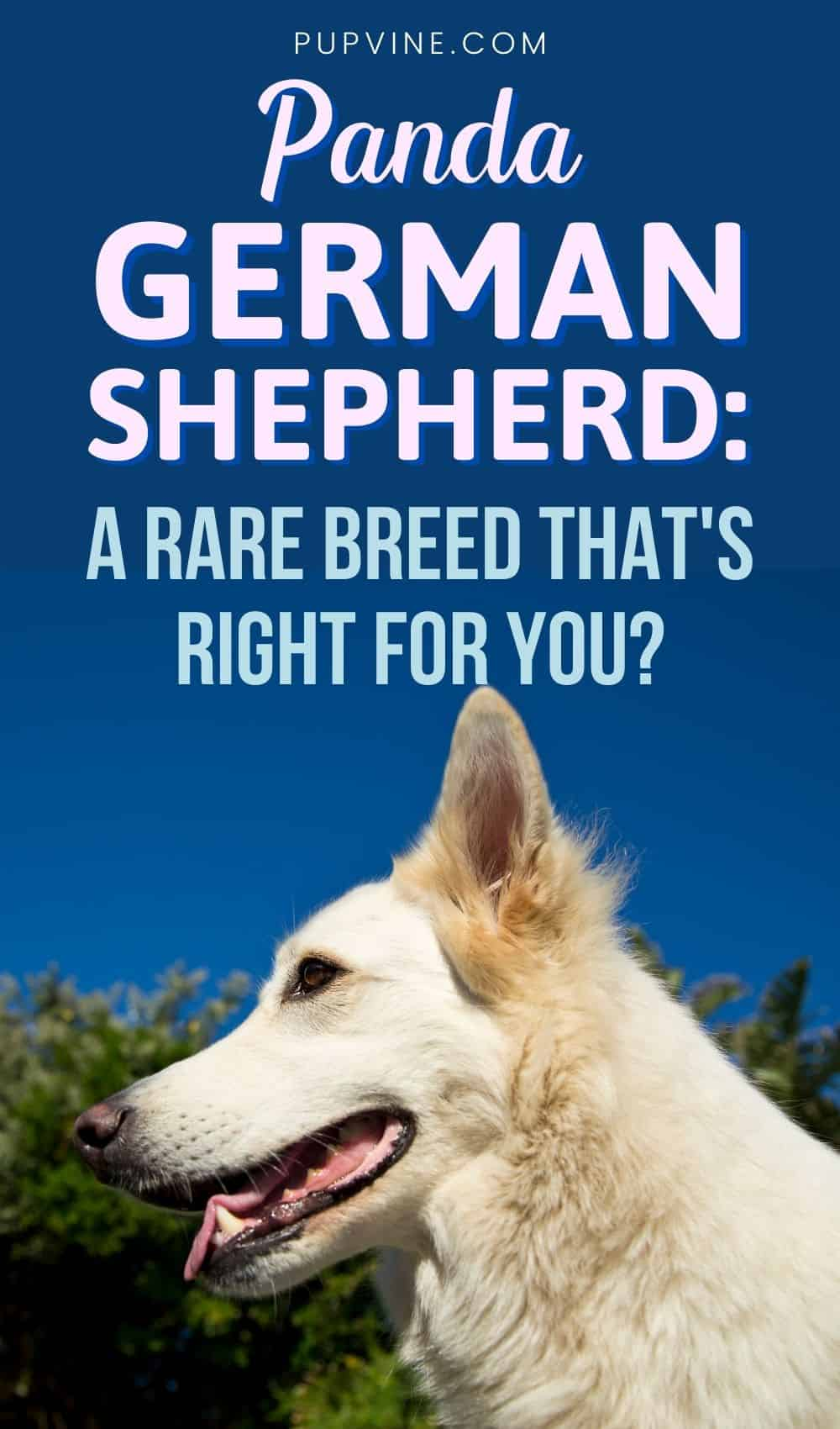 Panda German Shepherd A Rare Breed That's Right For You