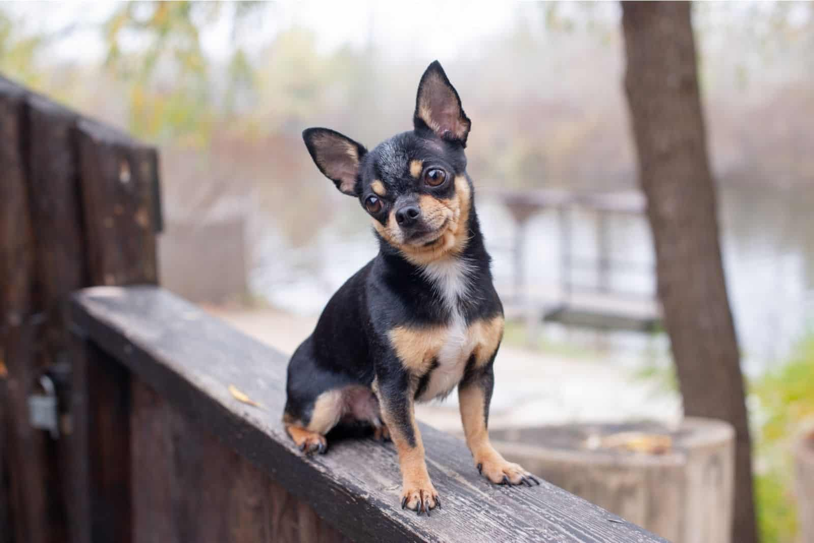 Pet dog Chihuahua on top of the wooden fence near the street