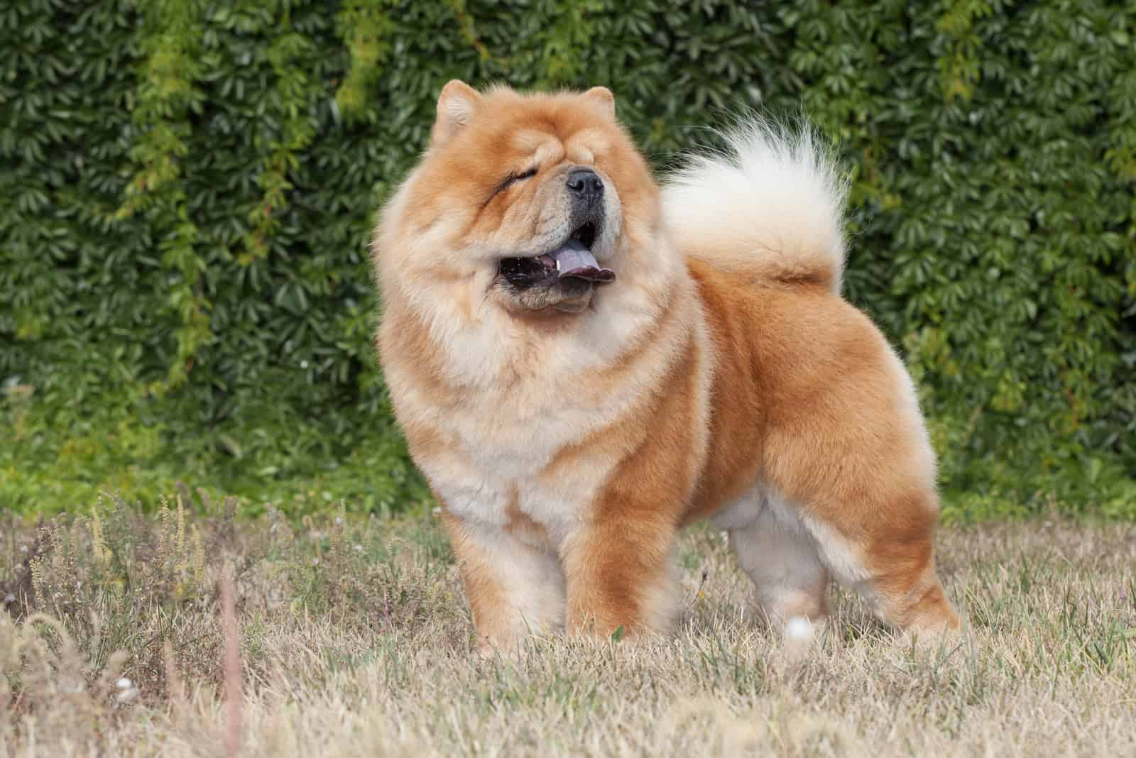Purebred Dog Chow Chow
