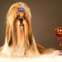 purebred long hair shih tzu beside a candle and holder