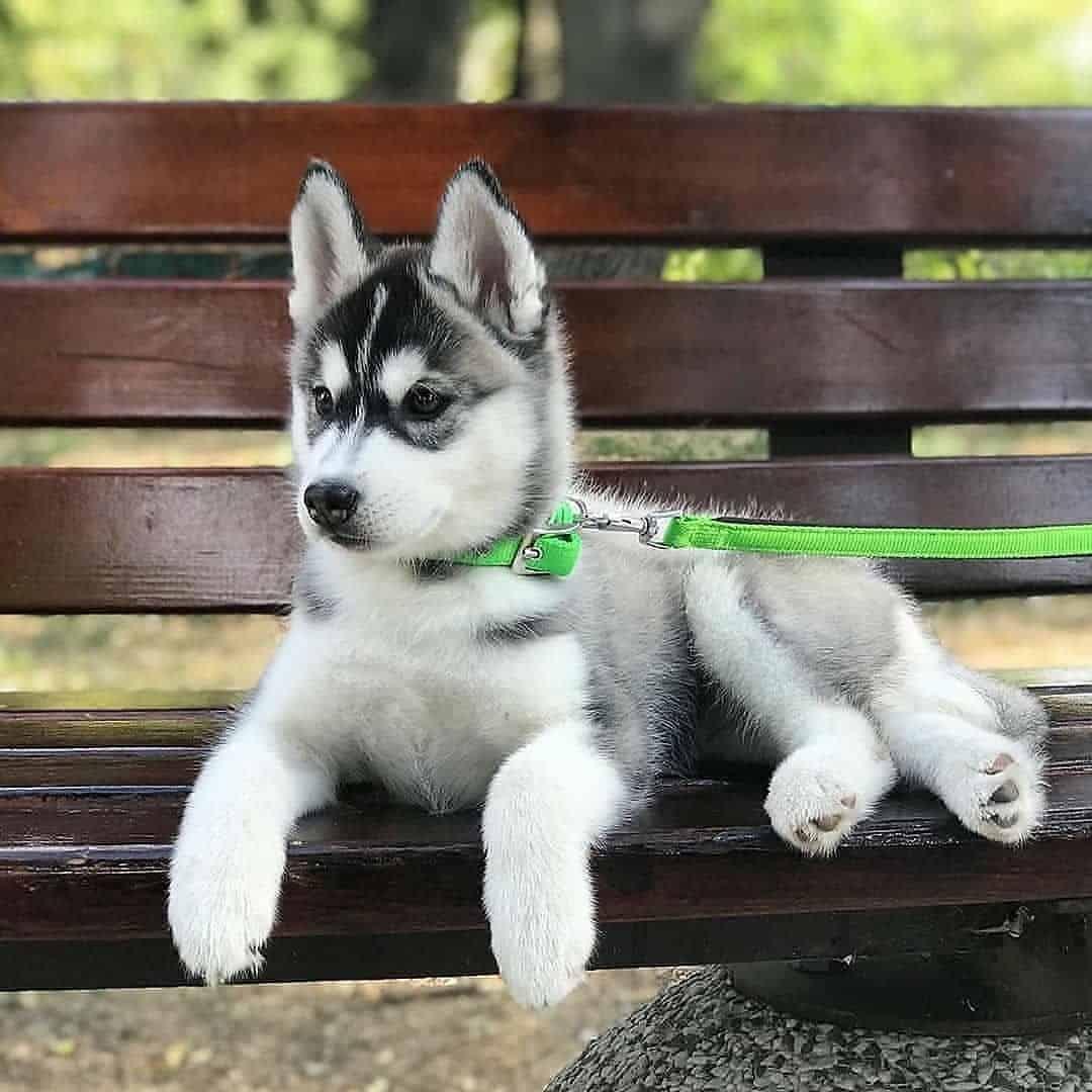 Siberian Husky lying on the park bench